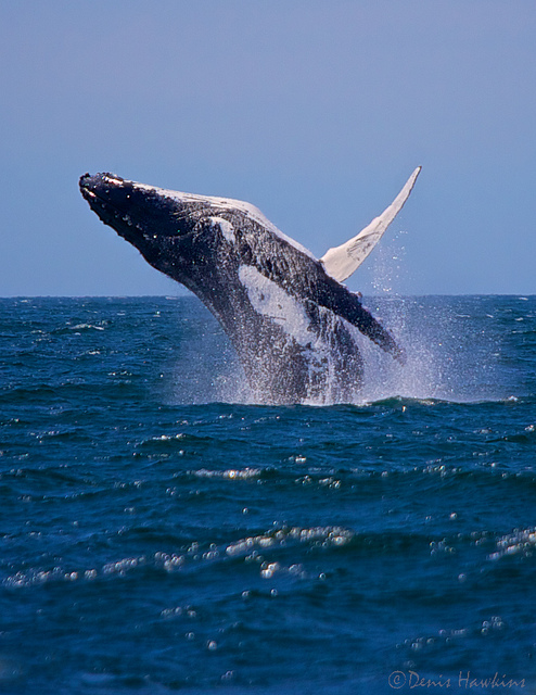 A humpback whale breaching at Jervis Bay